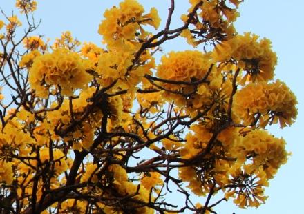 flores-do-ipê-amarelo