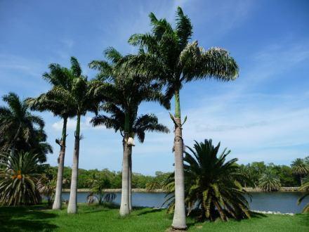 palmeira-imperial-das-antilhas-roystonea-sementes-p-mudas-11441-MLB20044144020_022014-F