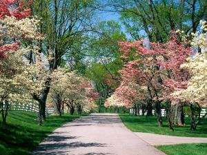 54025_Papel-de-Parede-Arvores-Dogwood-Rosas-e-Brancas-Lexington-Kentucky_1600x1200