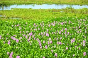 Flora - Pantanal -  005